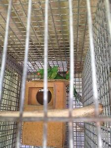 Breeding pair of scaleys lorikeets for sale Whalan Blacktown Area Preview