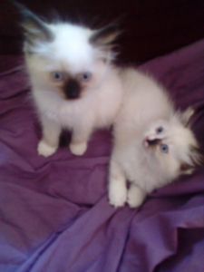 We have only one beautiful ragdoll kittens left  for sale Clemton Park Canterbury Area Preview