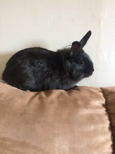 Black Rabbit with Cage 50obo