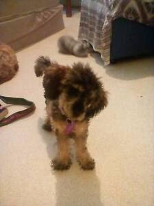 Toy poodle pup Mile End West Torrens Area Preview