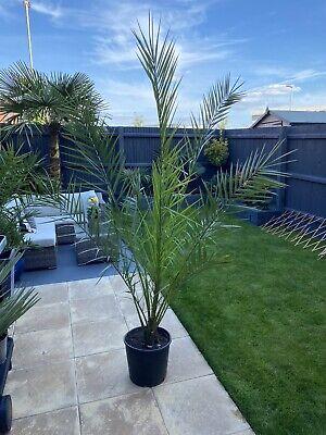 Palm Tree, Phoenix Palm, Canary Date Palm