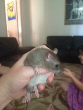 2 Healthy brown rats $10 each Campbelltown Campbelltown Area Preview