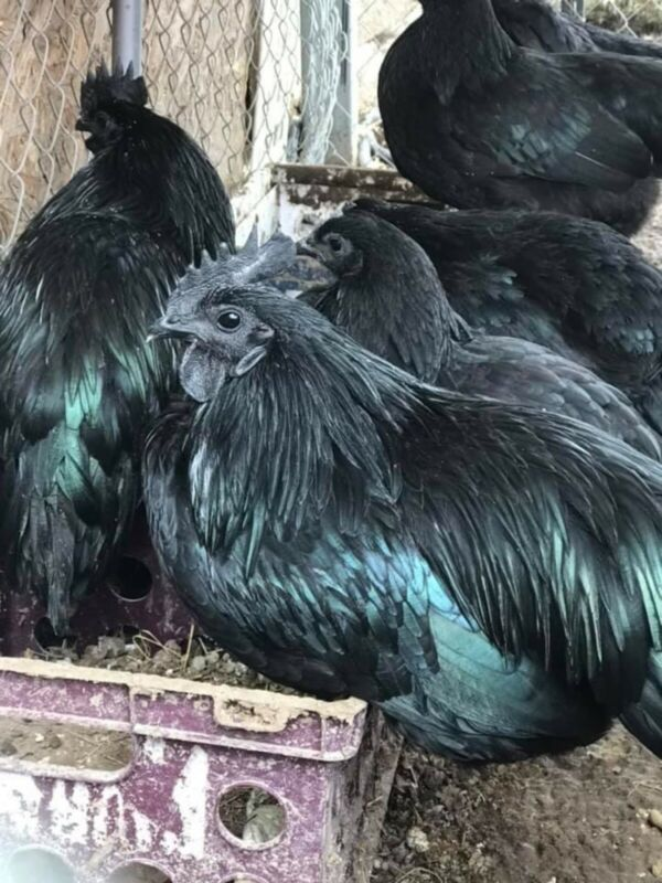 12+Extra Fertile Chicken Hatching Eggs Bloodline Ayam Cemani Greenfire Farms