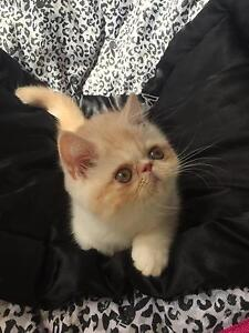 Red silver tabby bi colour exotic - pedigree Capalaba Brisbane South East Preview