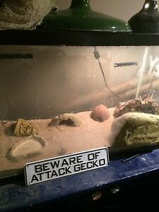 Leopard gecko with aquarium and accessories