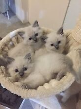 Pure bred Ragdoll Blue Point Hurstville Hurstville Area Preview