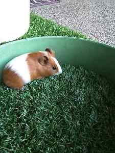 Baby guinea pigs Thornlie Gosnells Area Preview