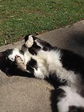 Cat for adoption Tenambit Maitland Area Preview