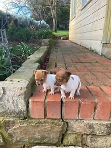 2 Great Jack Russell female pups in the Adelaide Hills