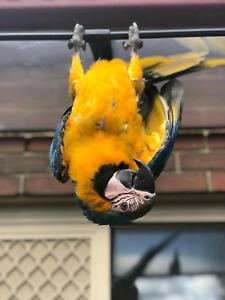 Macaw Blue & Gold *Female*