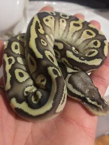 Male baby pastel butter
