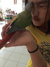 Handraised Green Cheek Conure Rouse Hill The Hills District Preview