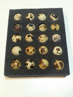 20 Jumbo Coturnix Quail Fresh Fertile Hatching Eggs NPIP