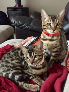 Registered Bengal Kittens (PET ONLY- No breeding rights)