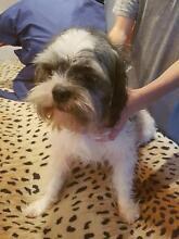 Free dog needs a loving home Caroline Springs Melton Area Preview