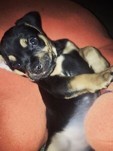 Staffy x puggle Hope Valley Tea Tree Gully Area Preview
