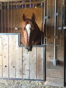 Thoroughbred Cross Chestnut mare for sale