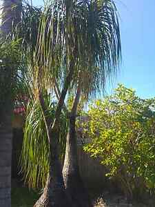 Phony tail trees Beerwah Caloundra Area Preview