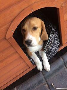 Pure Breed Beagle Greenvale Hume Area Preview