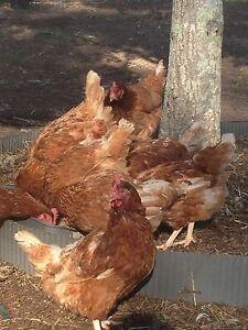 Rescue hens Jimboomba Logan Area Preview