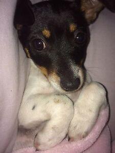Fox terrier pups, looking to buy! Wodonga Wodonga Area Preview