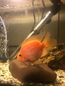 Blood Parrot Cichlid Amaroo Gungahlin Area Preview