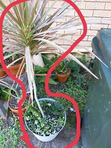 Price drop!!!XXL pot large plant and succulents