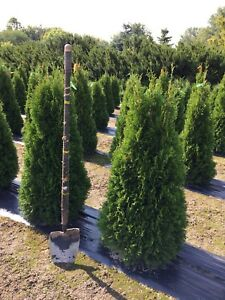 Cedar trees and boxwoods for sale! ONTARIO grown