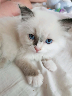 Beautiful ragdoll kitten for sale They