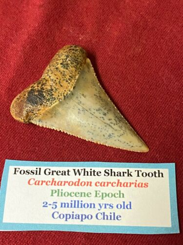 A sweet Great White Shark tooth Fossil not a megalodon / Mako shark tooth.  16