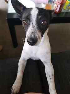 Fox terrier/ jack Russell x needs good home Maribyrnong Maribyrnong Area Preview