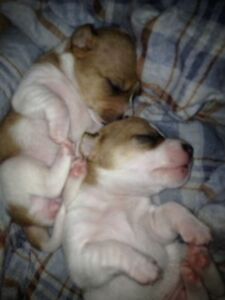 Jack Russell Puppies London Ontario image 1