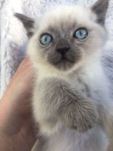 Siamese kittens white with blue eyes