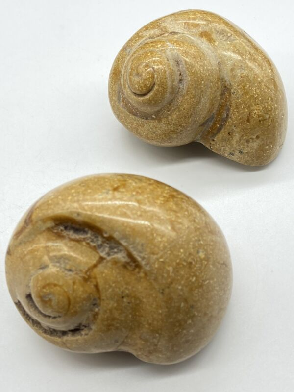 Pair Of Fossil Sea Snails