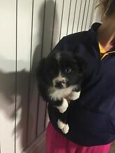 Border collie puppies Muswellbrook Muswellbrook Area Preview