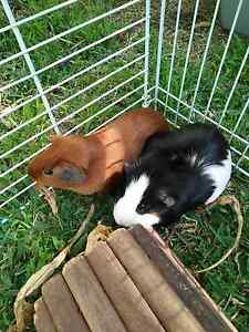 Guinea Pigs Wyoming Gosford Area Preview