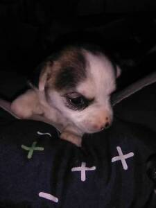 Chihuahua boys puppies for sale