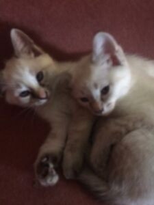 Siamese Lynx point and Flame point kittens