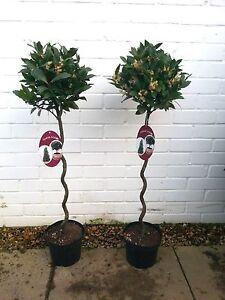 Plants: Bay Tree. Laurus Nobilis. 3 litre. Spiral Stem. SOLD AS A PAIR