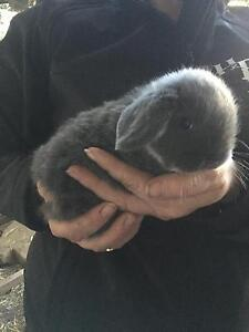 Rare coloured cute dwarf lop eared baby rabbits Vineyard Hawkesbury Area Preview