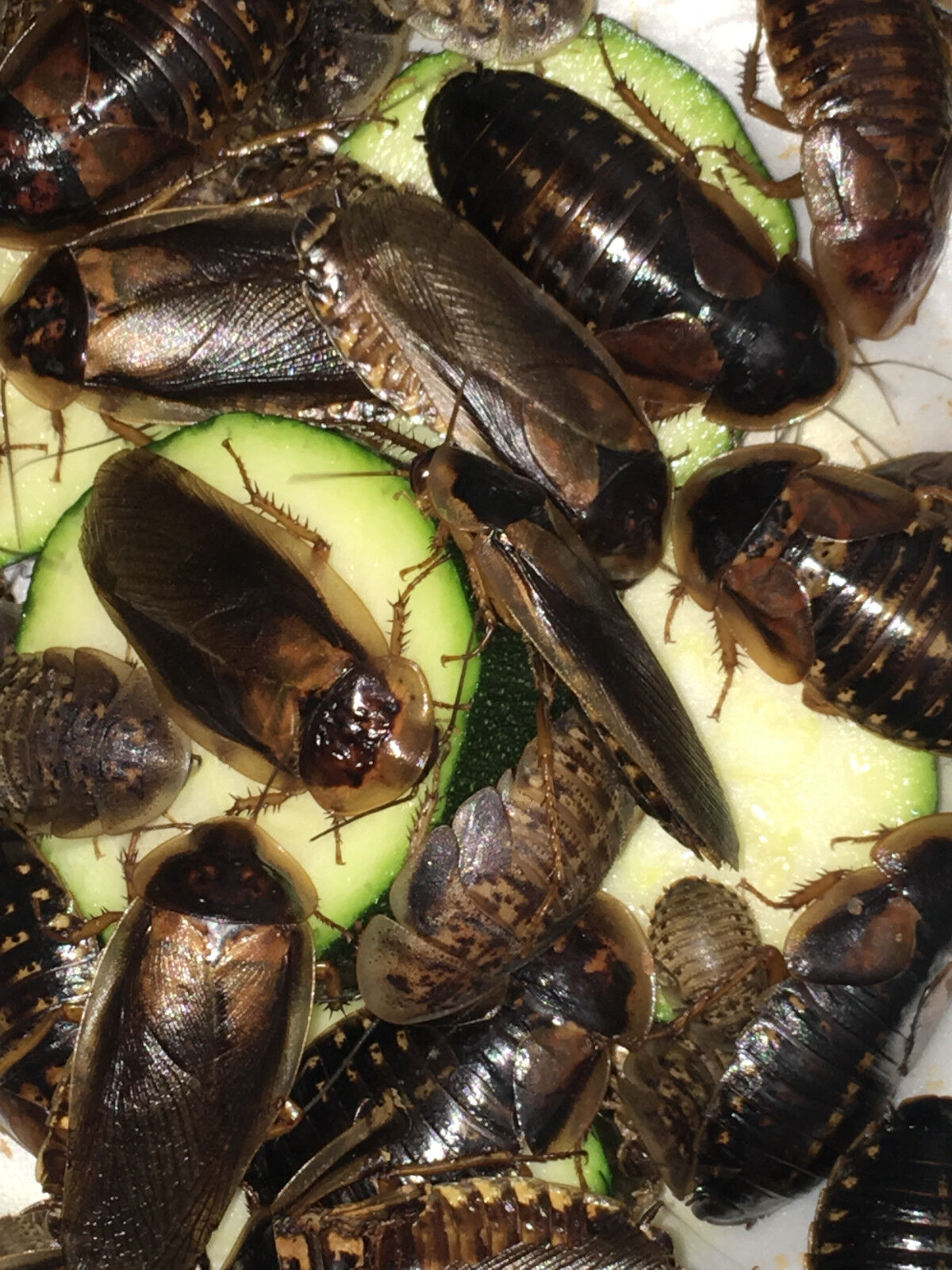 Dubia Roaches 100 Med. Sizes 1/2 To 3/4 In. Fast Free Shipping  - $26.95