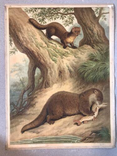 Original vintage school chart of Otter ,  litograph