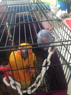 Wanted: Sun Conure and Ringneck Lost