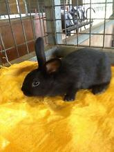 Rex X Mini Lop baby rabbits FOR SALE Ebenezer Hawkesbury Area Preview