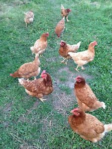 17 or 18 hens and one rooster - all for 50!