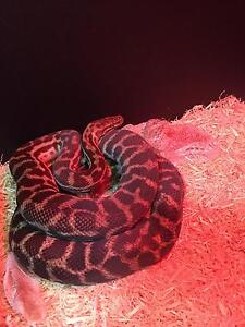 2x Stimson Pythons The Vines Swan Area Preview