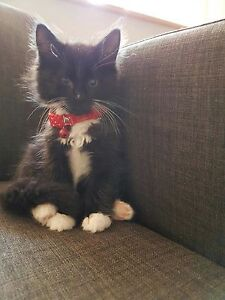 Ragdoll X black and white kitten male Caulfield East Glen Eira Area Preview
