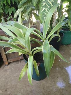 Agave Americana plants