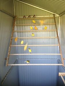 Canaries for sale!!! Appin Wollondilly Area Preview