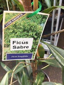 8 large Ficus Sabre  trees. Ingleburn Campbelltown Area Preview